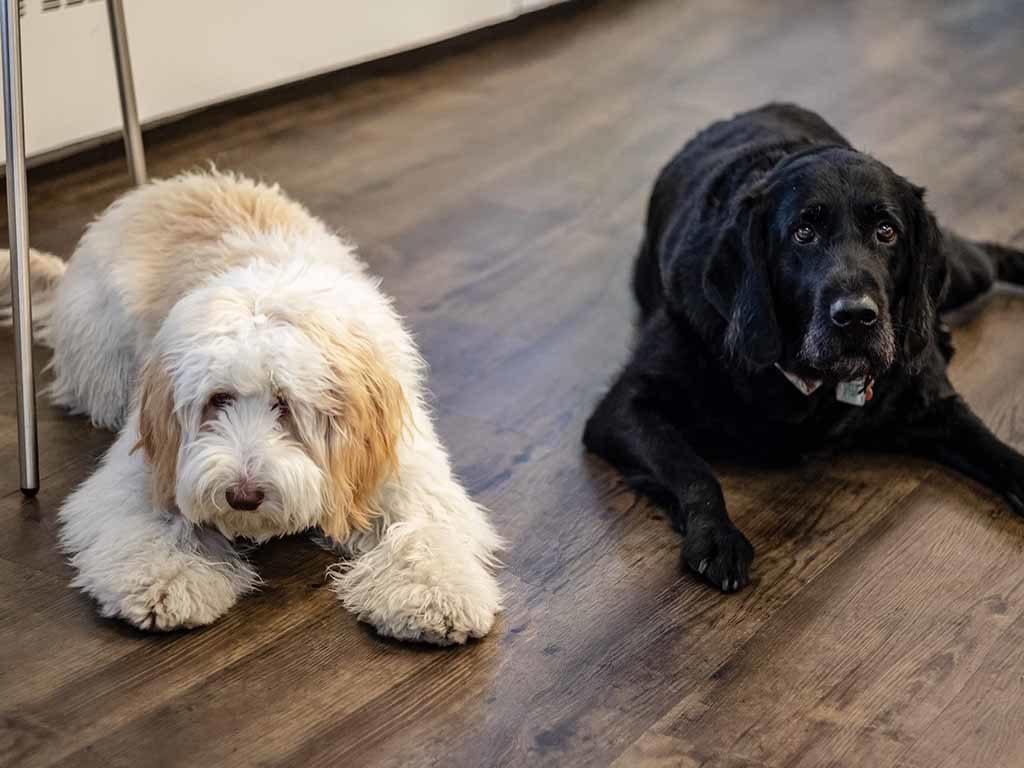 Vovia office dogs Jazzi and Jasper